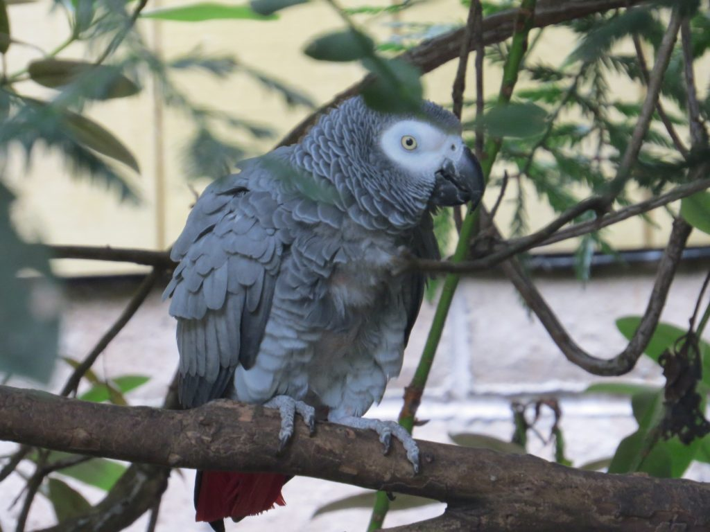 african grey parrot at sequoia park zoo