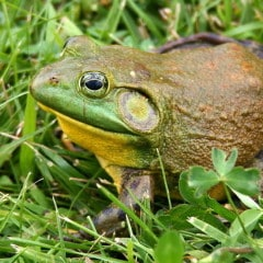 Current zoo funded conservation projects include a field study on the coastal bullfrog.