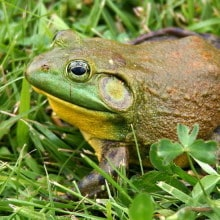 Current zoo funded conservation projects cover a variety of species, including the native coastal bullfrog.