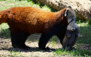 Red panda Stella Luna carries her newborn cub outside the den for the first time at Sequoia Park Zoo. (Credit: Patty Andriese)