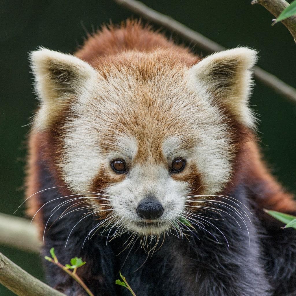 Experience Panda-monium