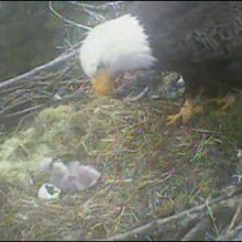 Eagle Nest Webcam