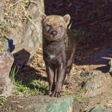 Rare South American Bush Dogs Arrive at the Zoo