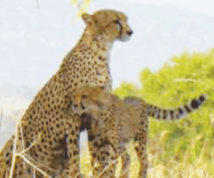 Special Conservation Lecture: Action for Cheetahs in Kenya @ Sequoia Park Zoo Flamingo Room