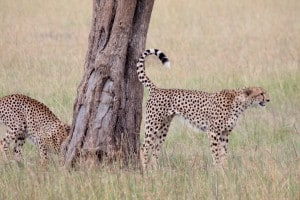Conservation Lecture: Cheetahs - It's All in the Genes!