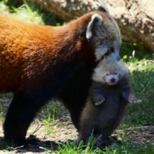 Red panda mom Stella Luna carries young Mohu in August 2013