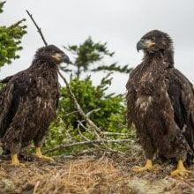 Eagles in your Home: Connecting with Wildlife through Remote Cameras