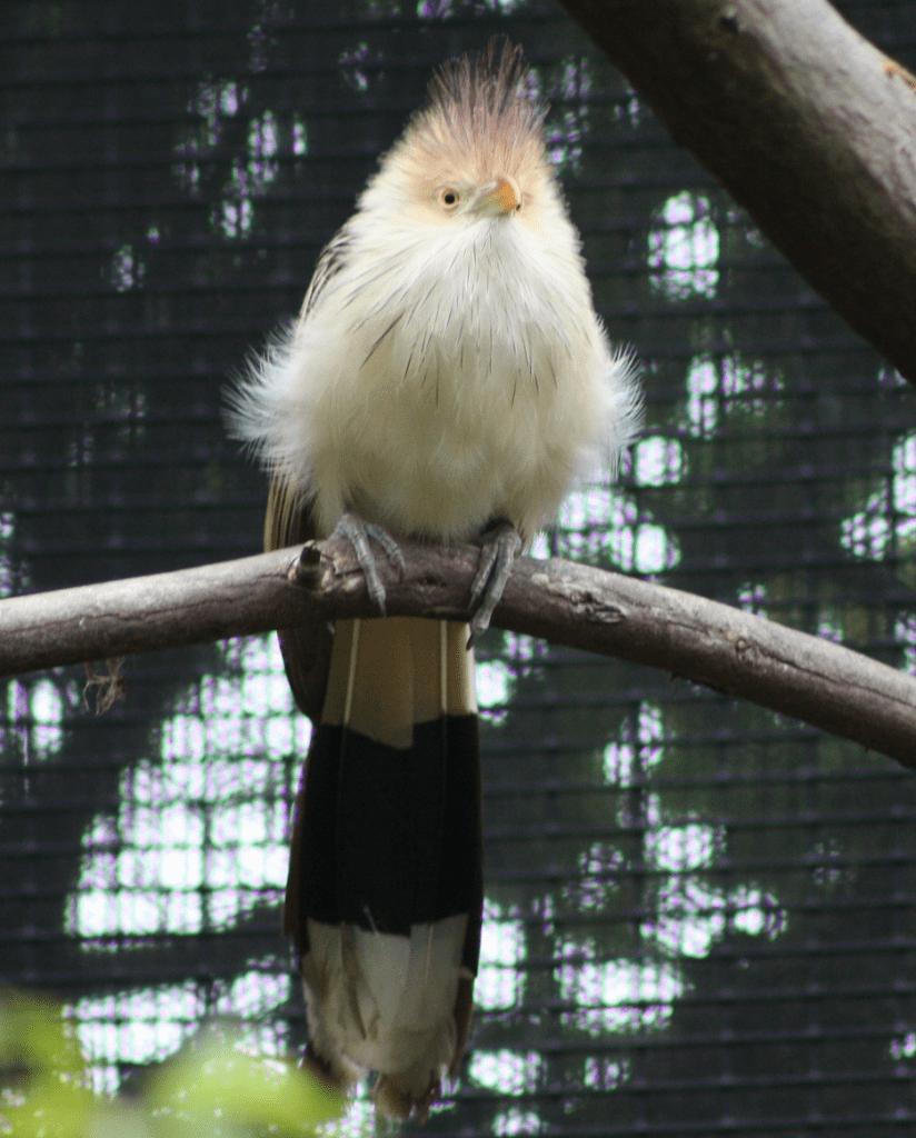 guira cuckoo at sequoia park zoo