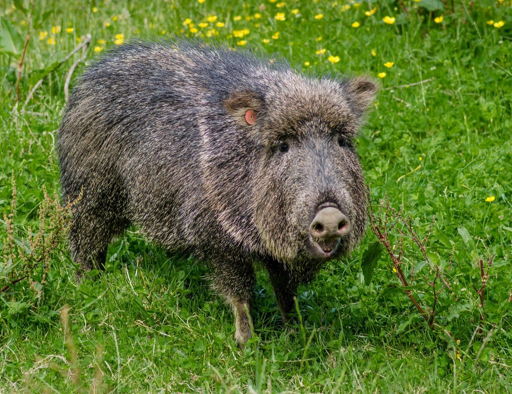 chicoan peccary at sequoia park zoo