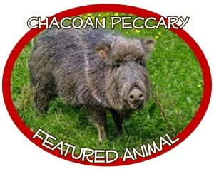PeccaryCrop