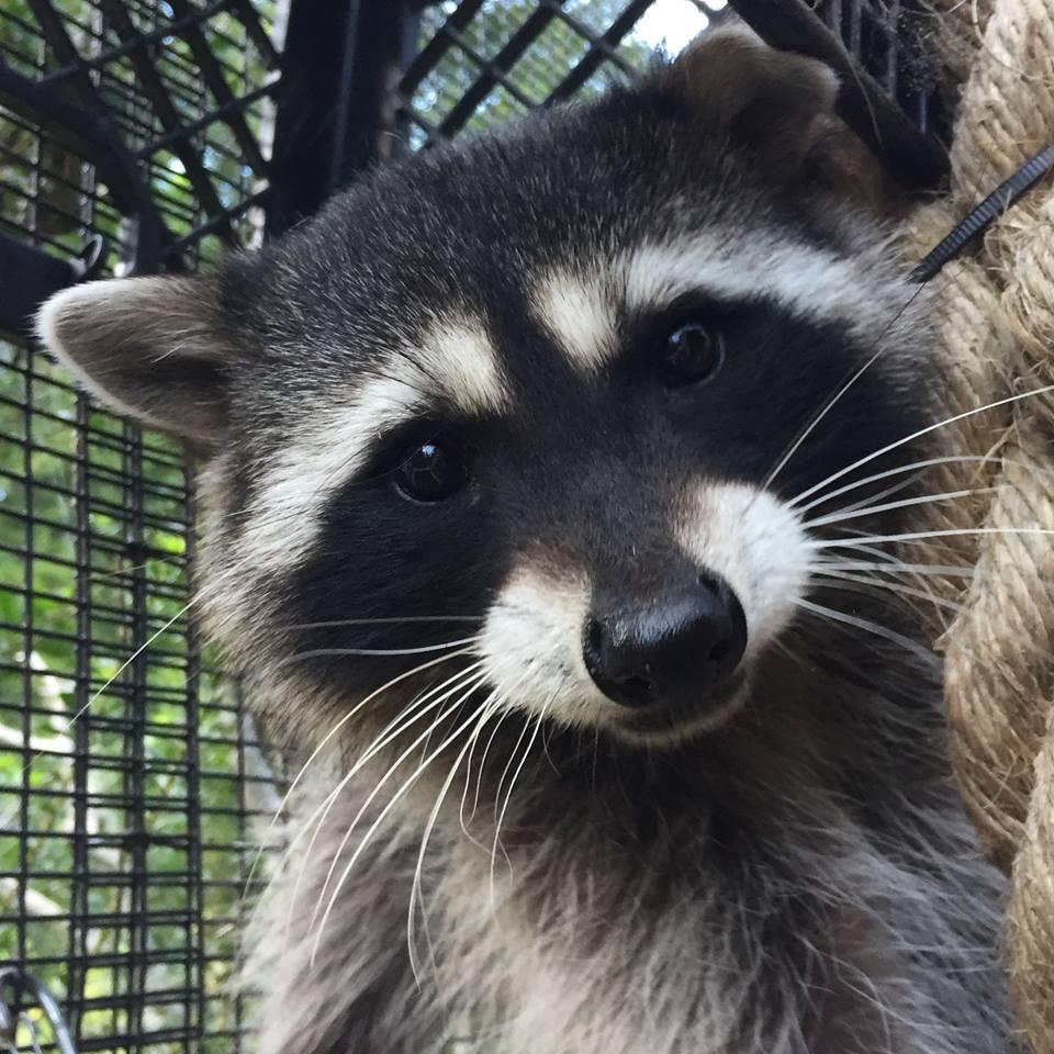 raccoon at sequoia park zoo